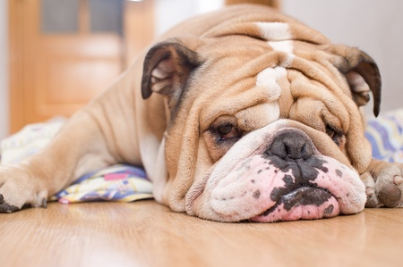 English Bulldog portrait Stock Photo