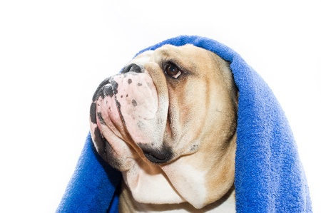 molosse: English Bulldog with towel on his head