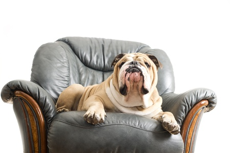 Happy lazy dog English Bulldog on a leather armchair sofa photo