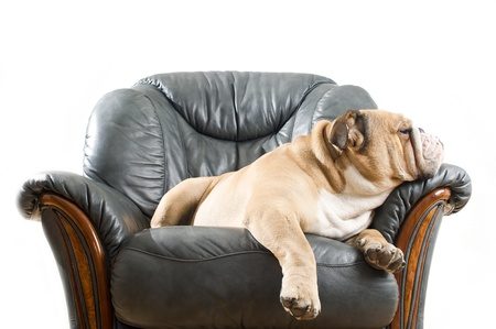 show dog: Happy lazy dog English Bulldog on a leather armchair sofa