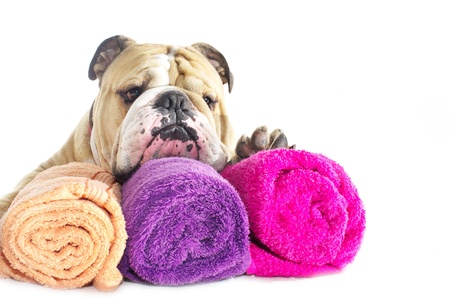 Cute english bulldog portrait with colourful towels isolated on white