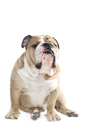 Cute english bulldog portrait isolated on white photo