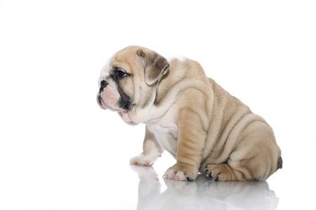 bulldog puppy: Beautiful english bulldog puppy isolated