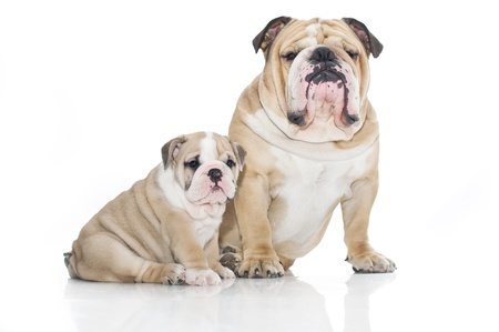 Beautiful english bulldog puppy with father isolated Stock Photo