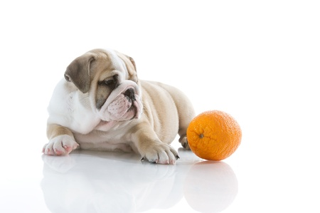 Beautiful English bulldog puppy with orange isolated Stock Photo