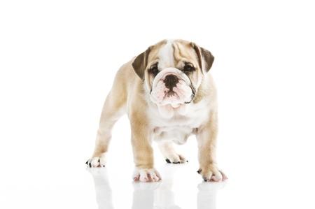 Beautiful English bulldog puppy isolated Stock Photo - 13324211