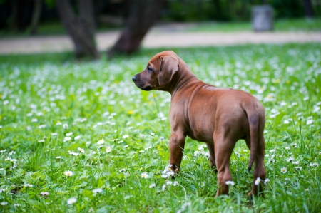 Cute rhodesian ridgeback puppy in a park