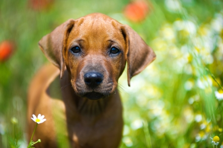 Cute rhodesian ridgeback puppy in a field Stock Photo - 14163055