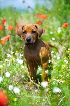 perro corriendo: Lindo cachorro de Rhodesian Ridgeback en un campo Foto de archivo