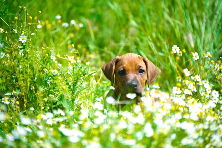 Cute rhodesian ridgeback puppy in a field Stock Photo - 14163094