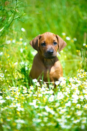 Cute rhodesian ridgeback puppy in a field Stock Photo