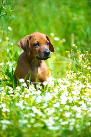 Cute rhodesian ridgeback puppy in a field Stock Photo