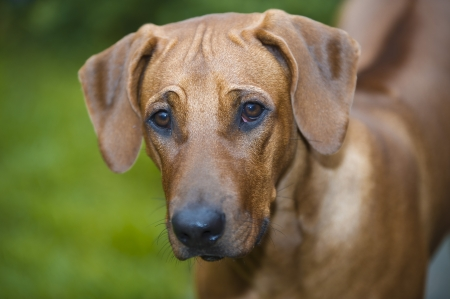 Beautiful young dog rhodesian ridgeback portrait outdoors photo