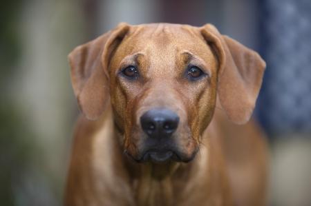 dog head: Beautiful young dog rhodesian ridgeback portrait outdoors