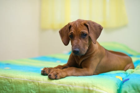 Rhodesian ridgeback puppy relaxing on a bed  photo