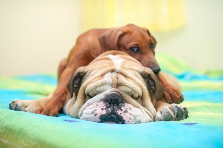 Rhodesian ridgeback puppy and english bulldog best dog friends relaxing on a bed Stock Photo - 15971401