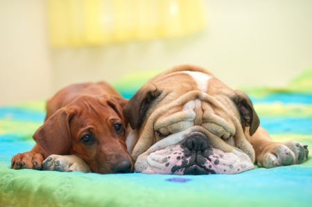 Rhodesian ridgeback puppy and english bulldog best dog friends relaxing on a bed Stock Photo