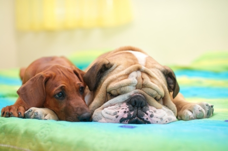 Rhodesian ridgeback puppy and english bulldog best dog friends relaxing on a bed photo
