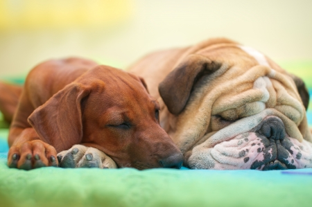 Rhodesian ridgeback puppy and english bulldog best dog friends relaxing on a bed Stock Photo - 15971416