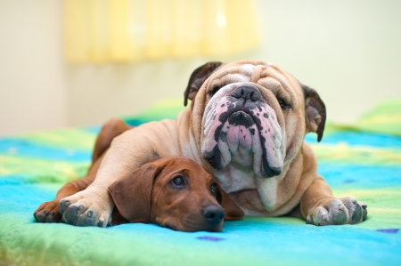 eyes looking down: Rhodesian ridgeback puppy and english bulldog best dog friends relaxing on a bed Stock Photo