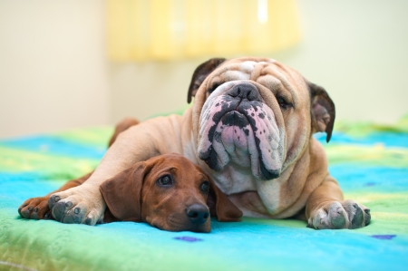 rhodesian: Rhodesian ridgeback puppy and english bulldog best dog friends relaxing on a bed Stock Photo