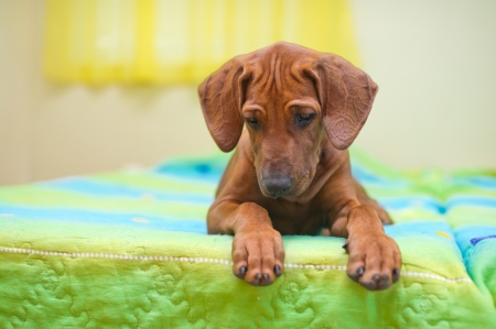 ridgeback: Rhodesian ridgeback puppy relaxing on a bed