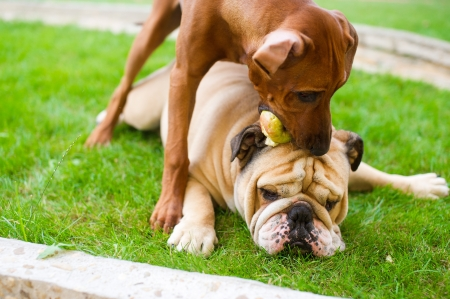 rhodesian: Best dog friends english bulldog and rhodesian ridgeback playing outdoors in the garden Stock Photo
