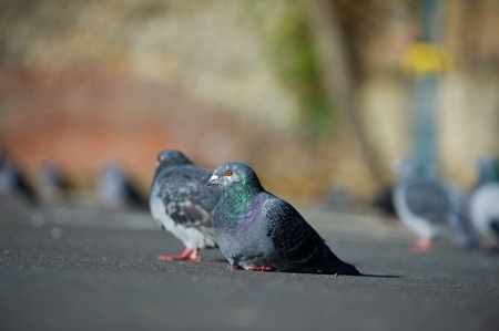 Beautiful couple of pigeons sitting on a on a road photo