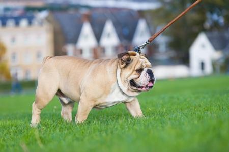 Beautiful dog english bulldog walking on a leash Stock Photo