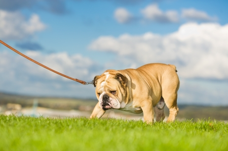 Beautiful dog english bulldog walking on a leash photo