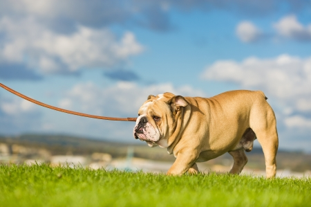 Beautiful dog english bulldog walking on a leash Stock Photo