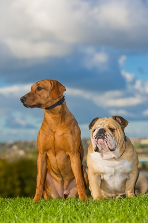 english bulldog: Best friends dogs english bulldog and rhodesian ridgeback