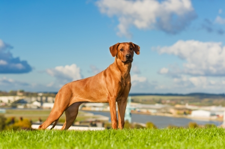 Beautiful dog rhodesian ridgeback outdoors Stock Photo