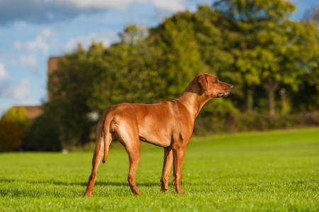 rhodesian: Beautiful dog rhodesian ridgeback outdoors Stock Photo