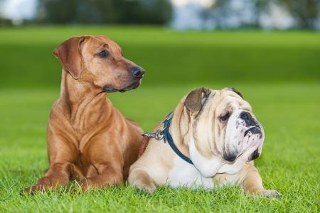 stay beautiful: Best friends dogs english bulldog and rhodesian ridgeback