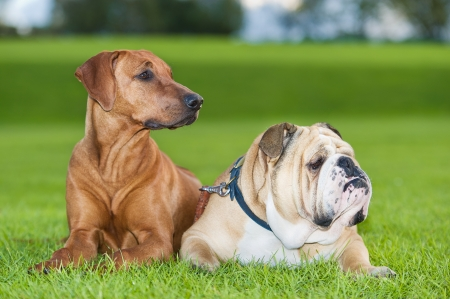 Best friends dogs english bulldog and rhodesian ridgeback