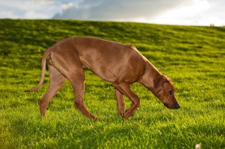 dog collar: Beautiful dog rhodesian ridgeback outdoors Stock Photo