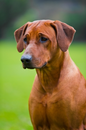 Rhodesian ridgeback portrait  in a spring flowers field Stock Photo
