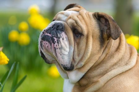 Happy cute english bulldog dog portrait in the spring field of yellow daffodils photo