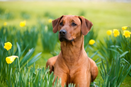 Happy cute rhodesian ridgeback dog portrait in the spring field of yellow daffodils