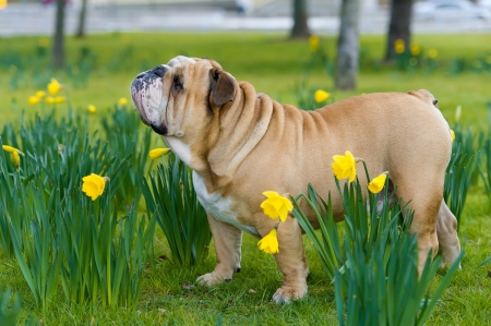 Happy cute english bulldog dog portrait in the spring field of yellow daffodils