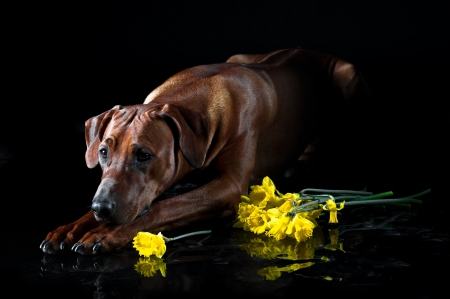 rhodesian: Beautiful dog rhodesian ridgeback smelling bunch of yellow daffodils flowers isolated on black