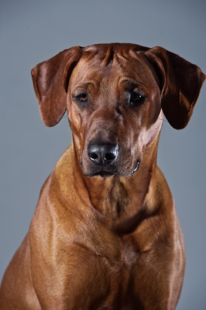 rhodesian: Portrait of a beautiful smart dog rhodesian ridgeback isolated on grey background