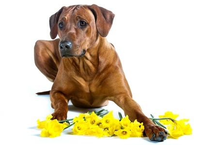 Schöner Hund Rhodesian Ridgeback Verlegung in ein Bündel von cpring gelben Narzissen Blumen auf weiß isoliert