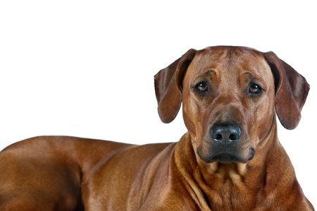 Beautiful smart young dog rhodesian ridgeback isolated on white background