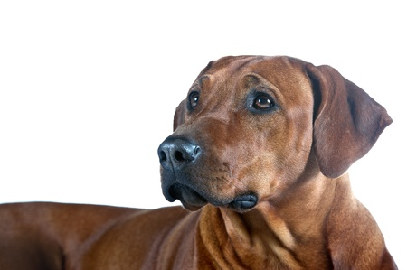 rhodesian: Beautiful smart young dog rhodesian ridgeback isolated on white background