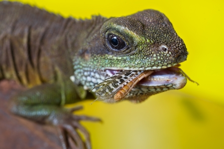bearded dragon lizard: Close-up portrait of beautiful water dragon lizard reptile eating an insect