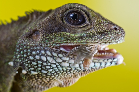 spiked: Close-up portrait of beautiful water dragon lizard reptile eating an insect