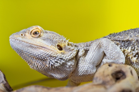 Beautiful Bearded dragon reptile lizard on a branch on yellow background photo