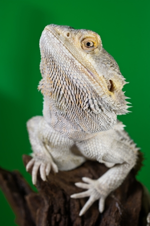 bearded dragon lizard: Beautiful Bearded dragon reptile lizard on a branch on green blurred background